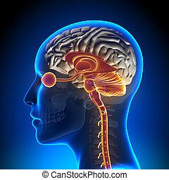 cerebelo, nervio, /, tallo, anatomía, cerebro, óptico, hembra