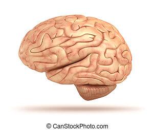cerebro, 3d, aislado, humano, modelo