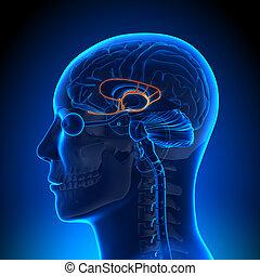 cerebro, anatomía, -, limbic, sistema