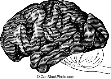 cerebro, chimpancé, vendimia, engraving.