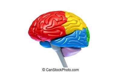 cerebro, lóbulos, en, diferente, colores