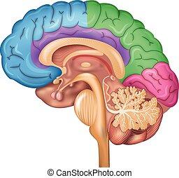 cerebro, lóbulos, humano