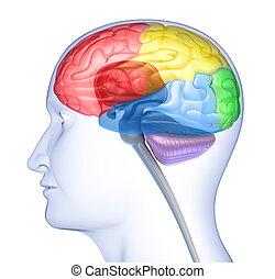 cerebro, lóbulos, silueta, cabeza