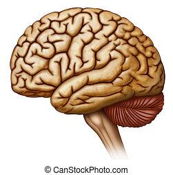 cerebro, lado, humano, vista