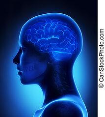 cerebro, radiografía, vista