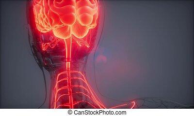 cerebro, radiología, examen, humano