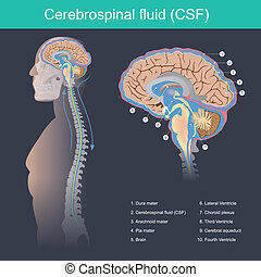 Cerebrospinal fluid (CSF) It protects the brain and spinal...