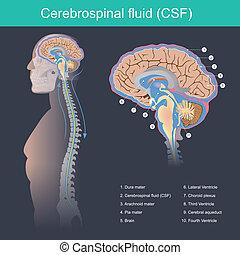 cerebrospinal, fluido