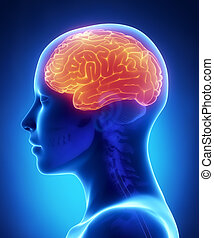 Cerebrum - female brain anatomy lateral view