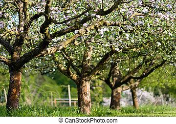 cereja, flor, ramo, árvore
