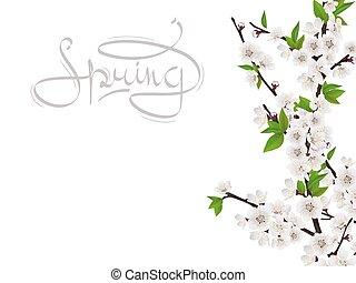 cereja, flores brancas, ramo, primavera