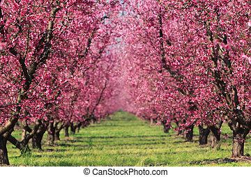 cereja, pomar, em, primavera