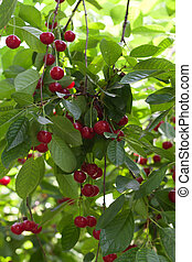 cerejas frescas, ligado, a, árvore