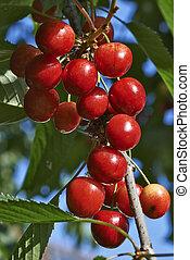 cerejas, pendurar, um, árvore cereja, ramo