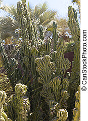 Cereus hildmannianus is a species of cactus from southern South America