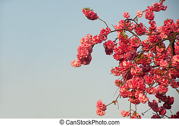 cereza, blossoms.