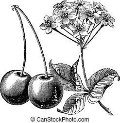 cereza, con, hojas, y, flores, vendimia, grabado