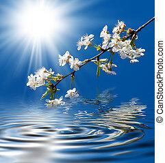 cereza, florecer
