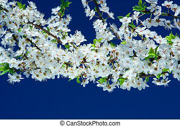 cereza, flores, árbol