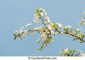 cereza, flores blancas, árbol