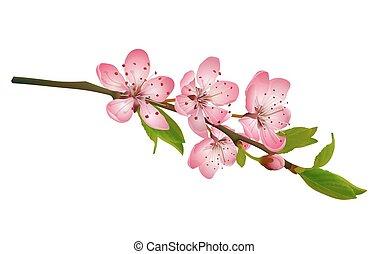 cereza, flores, flor, sakura, aislado