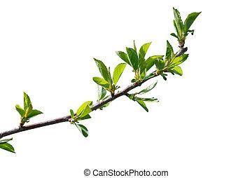 cereza, hojas, árbol, verde, rama, primero