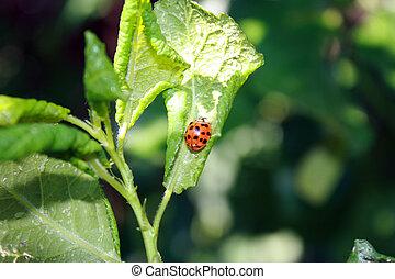 cereza, hojas, afectado, por, aphids., insecto, pestes, en, el, plant., mariquita, comida, áfido