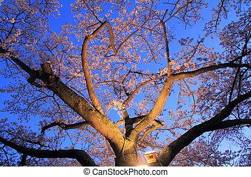 cereza, (night, japón, flores, scene)