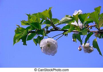 cereza, solo, blosom