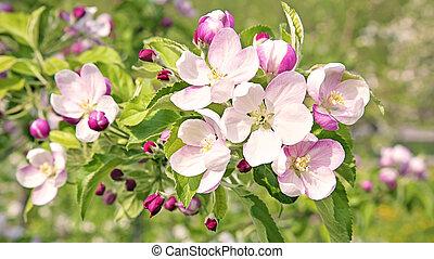 cerezo, flor, flores, en, primavera