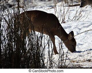 cerf, hiver, chevreuil