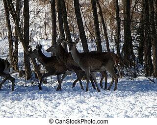 cerf, hiver