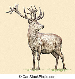 cerf, illustration, graver