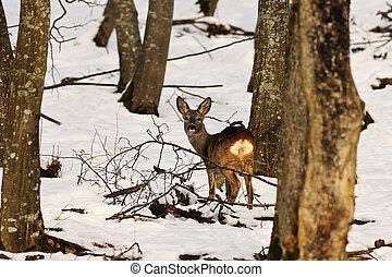 cerf, naturel, hiver, habitat, chevreuil