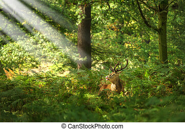 cerf, rutting, saison, automne, automne