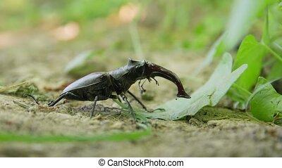 cerf-volant, fourmis