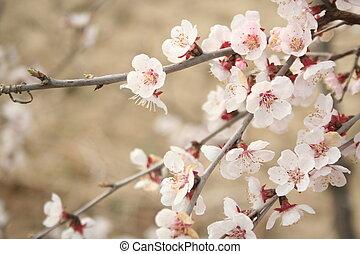 cerise, 3, fleurs