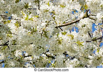 cerise, arbre fleurissant, gros plan