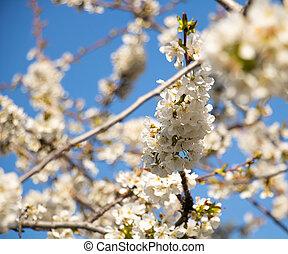 cerise, ciel, fleurs blanches, bleu, parfumé, fleur