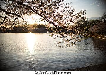 cerise, coucher soleil, fleurs