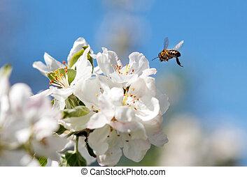 cerise, fleur blanche, fleurs, abeille