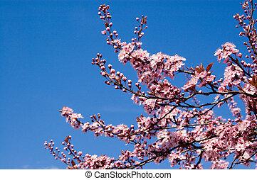 cerise, fleurir, branches