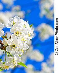 cerise, fleurir, jardin
