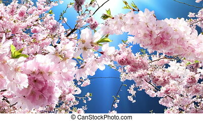 cerise, fleurir