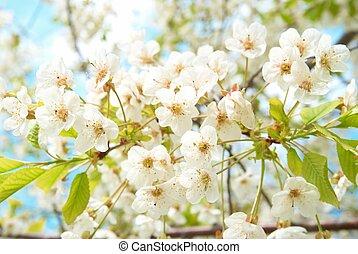 cerise, fleurs blanches