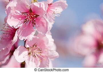 cerise, fleurs, magnifique, soleil., printemps