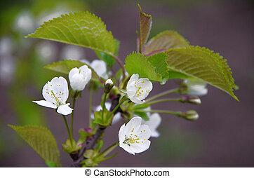 cerise, fleurs, printemps, arbre, blanc