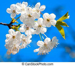 cerise, floraison, arbre, printemps