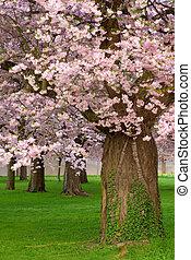 cerise, floraison, arbres, magnifique