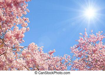 cerise, floraison, arbres, soleil